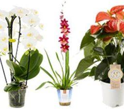 Plantes fleuries pour l'intérieur