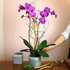 Orchidée avec cache pot